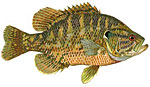Rock Bass / Goggle-Eye Thumbnail