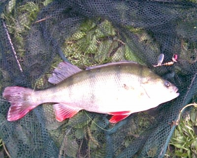 Photo of European Perch Caught by Ed with Mepps  in United Kingdom