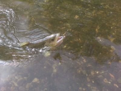 Photo of Trout Caught by Jacob with Mepps XD in Pennsylvania