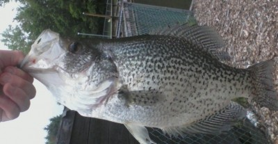 Photo of Crappie Caught by James with Mepps Aglia & Dressed Aglia in New Jersey