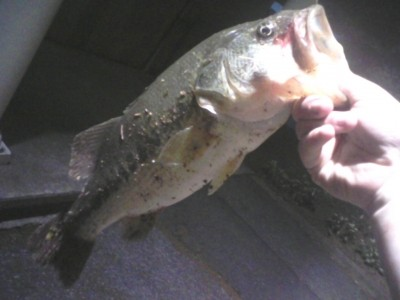 Photo of Bass Caught by James  with Mepps Aglia & Dressed Aglia in New Jersey