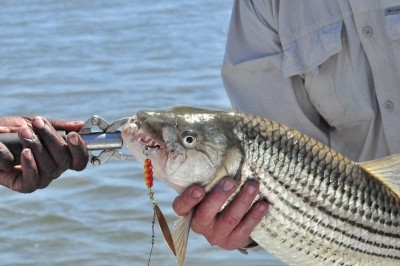 Photo of Tigerfish Caught by Jonathan with Mepps Aglia Long in Zimbabwe