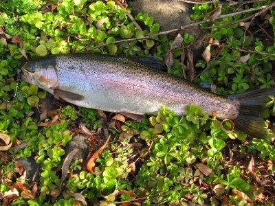 Photo of Trout Caught by Adrian with Mepps Thunder Bug in Australia
