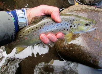 Photo of Trout Caught by Adrian with Mepps Aglia Ultra Lites in Australia