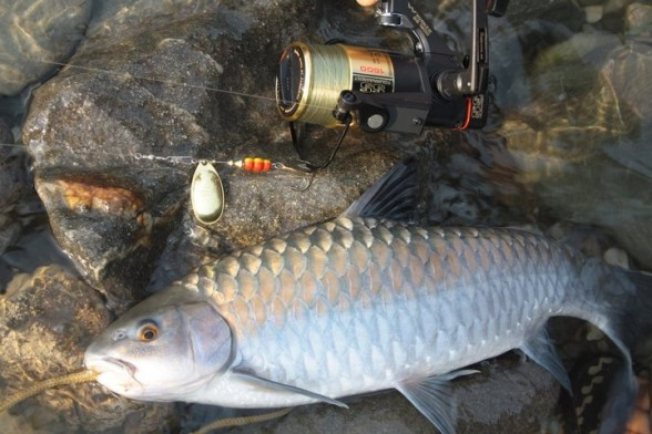 Photo of Golden Mahseer Caught by Rakesh with Mepps LongCast in United States