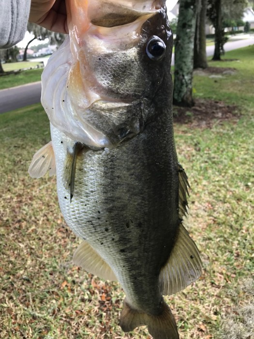 Photo of Bass Caught by STEVEN with Mepps Aglia & Dressed Aglia in Florida